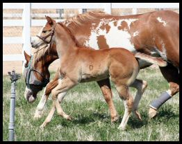 MY INTENTION X LADY IS AN ALL STAR filly2.jpg